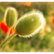Poppy bud. Old postcard. - Stock Photo