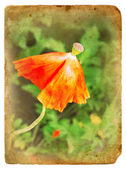 Overblown poppy. Old postcard. — Stock Photo