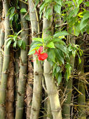 Hibiscus and bamboo — Stock fotografie