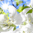 Flowering cherries in the sun — Stock Photo