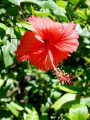 ハイビスカスの花. — ストック写真