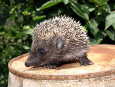 Young European hedgehog — Stock Photo