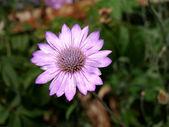 Wild purple flower — Stock Photo