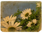 Blooming flowers of chamomile. Old postcard. — Stock Photo
