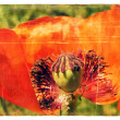 Red Poppy. Old postcard. - Stockfoto