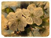 Vecchia cartolina con alcuni fiori di ciliegio. — Foto Stock