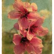 Peach blossom. Old postcard. — Stock Photo