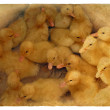 Group of small cute ducklings - Stock Photo