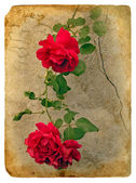 Roses. Old postcard — Stock Photo
