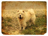 Dog breed Chow Chow. Old postcard — Stock Photo