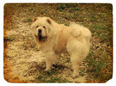 Dog breed Chow Chow. Old postcard. — Stock Photo