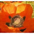 Red Poppy. Old postcard — Stockfoto