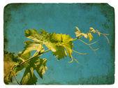 Young grape leaves. Old postcard. — Foto de Stock