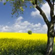 Oilseed field with tree - Stock Photo