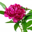 Red peony - Stock Photo