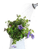 Watering house plants — Stock Photo