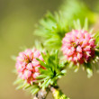 Larix - larch flower - Stock Photo