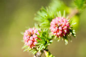 Larix - larch flower — Stock Photo