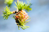 Pink flowers larch — Stock Photo