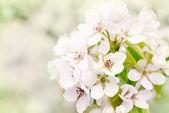 Flowers of wild apple — Stock Photo