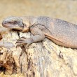 Iguana, leguan on a dried tree — Stock Photo #8049866