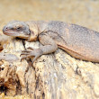 Stock Photo: Iguana, leguan on a dried tree
