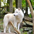 Royalty-Free Stock Photo: White wolf