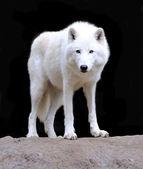 Witte wolf — Stockfoto