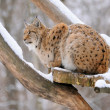 Lynx in winter — Stock Photo #8880777