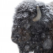 Portrait of bison in winter — Stock Photo