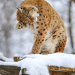 Lynx in winter — Stock Photo #8881021