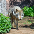 Timber Wolf (Canis lupus) - Stock Photo