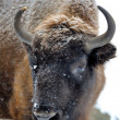 Stock Photo: Portrait of bison in winter