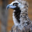 Detailed portrait of a white head vulture — Stock Photo