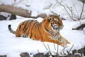 Siberian tiger what sits on snow — Stock Photo