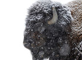 Portrait of bison in winter — Foto Stock