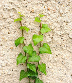 Ivy on wall — Stock Photo