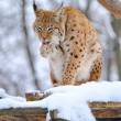 Lynx in winter — Stock Photo #9667735