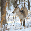 Beautiful deer in winter forest — Stock Photo #9667850