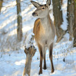 Beautiful deer in winter forest — Stock Photo