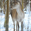 Beautiful deer in winter forest — Stock Photo #9667880