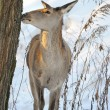 Beautiful deer in winter forest — Stock Photo #9667891