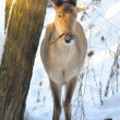 Beautiful deer in winter forest — Stock Photo #9667904