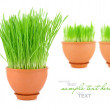 Young sprouts of wheat are in a clay pot on a white background — Stock Photo