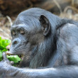 Stock Photo: Chimpanzee eats greenery