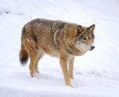 Hermosa salvaje lobo gris en invierno — Foto de Stock