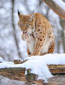 Lince en invierno — Foto de Stock