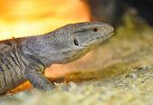 Closeup young lizard — Stock Photo