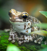 Trachycephalus resinifictrix (Harlequin frog) is sitting on tree — Stock Photo