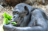 Chimpanzee eats greenery — Stock Photo